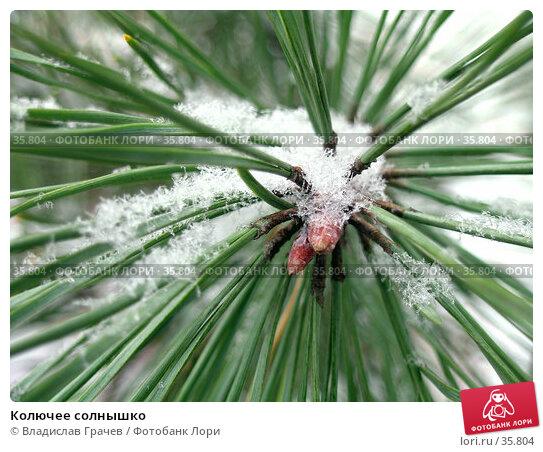 Колючее солнышко, фото № 35804, снято 12 декабря 2004 г. (c) Владислав Грачев / Фотобанк Лори