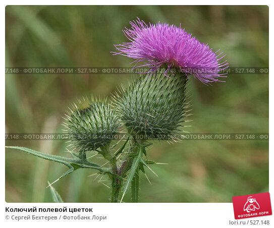 Купить «Колючий полевой цветок», фото № 527148, снято 13 августа 2004 г. (c) Сергей Бехтерев / Фотобанк Лори