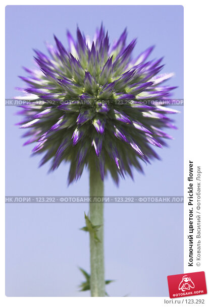 Купить «Колючий цветок. Prickle flower», фото № 123292, снято 19 апреля 2018 г. (c) Коваль Василий / Фотобанк Лори