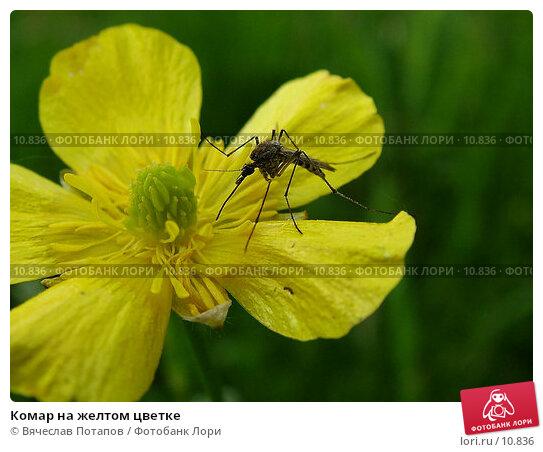 Комар на желтом цветке, фото № 10836, снято 7 июня 2004 г. (c) Вячеслав Потапов / Фотобанк Лори