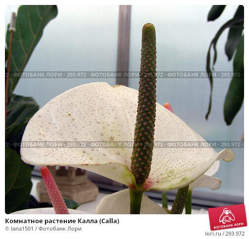 Комнатное растение Калла (Calla), эксклюзивное фото № 293972, снято 16 апреля 2008 г. (c) lana1501 / Фотобанк Лори