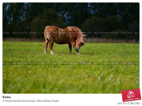 Конь. Стоковое фото, фотограф Константин Калгатин / Фотобанк Лори