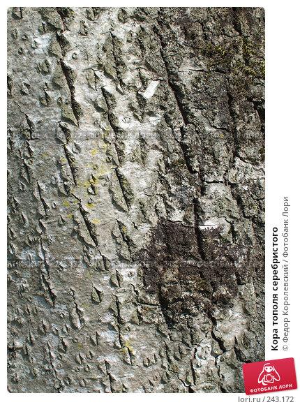 Кора тополя серебристого, фото № 243172, снято 4 апреля 2008 г. (c) Федор Королевский / Фотобанк Лори