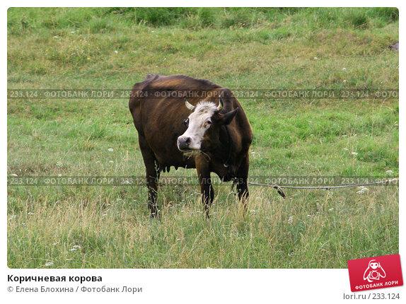 Коричневая корова, фото № 233124, снято 13 июля 2007 г. (c) Елена Блохина / Фотобанк Лори