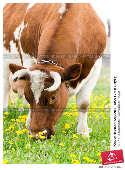 Купить «Коричневая корова пасется на лугу», фото № 297060, снято 21 мая 2008 г. (c) Елена Блохина / Фотобанк Лори