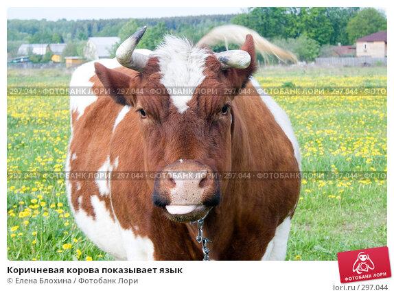 Коричневая корова показывает язык, фото № 297044, снято 19 мая 2008 г. (c) Елена Блохина / Фотобанк Лори