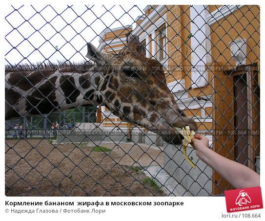 Купить «Кормление бананом  жирафа в московском зоопарке», фото № 108664, снято 15 декабря 2017 г. (c) Надежда Глазова / Фотобанк Лори