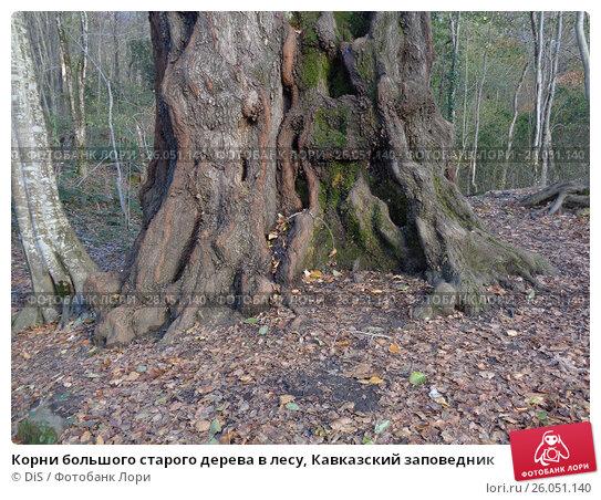 Купить «Корни большого старого дерева в лесу, Кавказский заповедник», фото № 26051140, снято 6 декабря 2016 г. (c) DiS / Фотобанк Лори