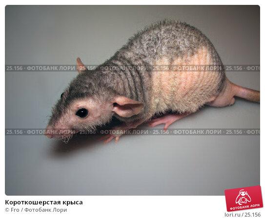 Купить «Короткошерстая крыса», фото № 25156, снято 18 марта 2007 г. (c) Fro / Фотобанк Лори
