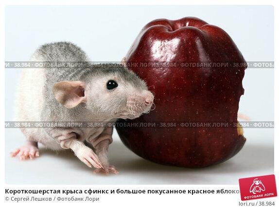 Короткошерстая крыса сфинкс и большое покусанное красное яблоко, фото № 38984, снято 18 марта 2007 г. (c) Сергей Лешков / Фотобанк Лори