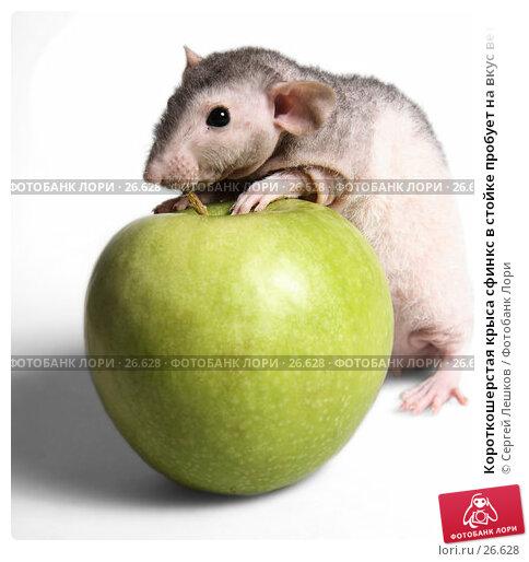 Короткошерстая крыса сфинкс в стойке пробует на вкус веточку от зеленого яблока, фото № 26628, снято 18 марта 2007 г. (c) Сергей Лешков / Фотобанк Лори