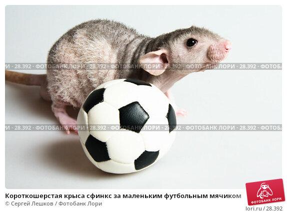 Короткошерстая крыса сфинкс за маленьким футбольным мячиком, фото № 28392, снято 18 марта 2007 г. (c) Сергей Лешков / Фотобанк Лори