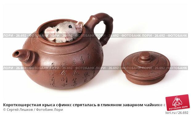 Короткошерстная крыса сфинкс спряталась в глиняном заварном чайнике с иероглифами, фото № 26692, снято 18 марта 2007 г. (c) Сергей Лешков / Фотобанк Лори