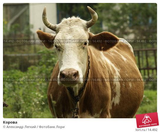 Купить «Корова», фото № 14492, снято 4 августа 2006 г. (c) Александр Легкий / Фотобанк Лори