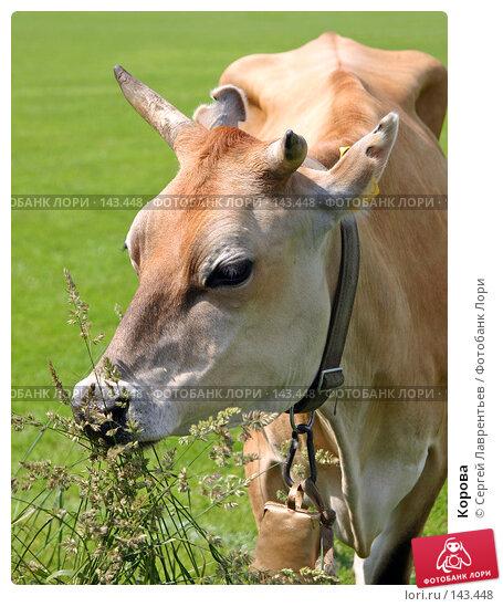 Корова, фото № 143448, снято 21 июня 2004 г. (c) Сергей Лаврентьев / Фотобанк Лори