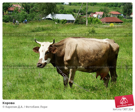 Купить «Корова», фото № 307324, снято 31 мая 2008 г. (c) Карелин Д.А. / Фотобанк Лори