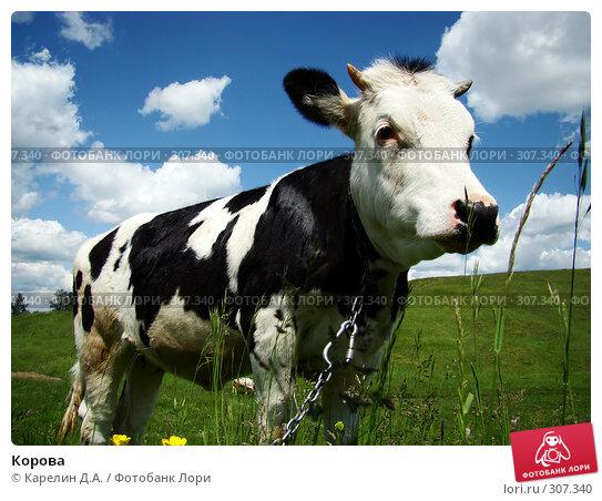 Корова, фото № 307340, снято 31 мая 2008 г. (c) Карелин Д.А. / Фотобанк Лори