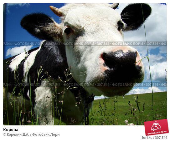 Купить «Корова», фото № 307344, снято 31 мая 2008 г. (c) Карелин Д.А. / Фотобанк Лори