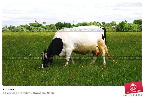 Корова, фото № 314408, снято 31 мая 2008 г. (c) Надежда Келембет / Фотобанк Лори