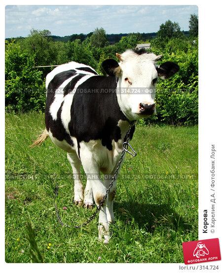 Корова, фото № 314724, снято 31 мая 2008 г. (c) Карелин Д.А. / Фотобанк Лори