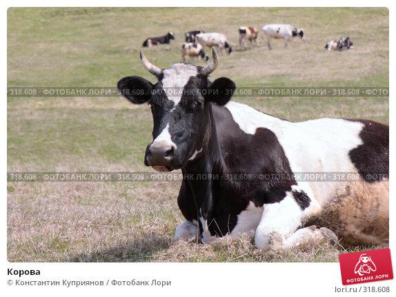 Корова, фото № 318608, снято 14 мая 2008 г. (c) Константин Куприянов / Фотобанк Лори