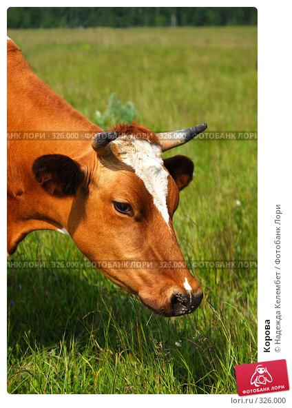 Корова, фото № 326000, снято 12 июня 2008 г. (c) Надежда Келембет / Фотобанк Лори