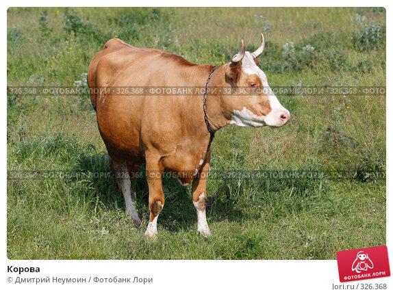 Купить «Корова», эксклюзивное фото № 326368, снято 12 июня 2008 г. (c) Дмитрий Неумоин / Фотобанк Лори