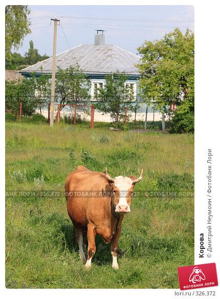 Корова, эксклюзивное фото № 326372, снято 12 июня 2008 г. (c) Дмитрий Неумоин / Фотобанк Лори