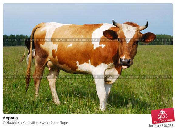 Корова, фото № 330256, снято 12 июня 2008 г. (c) Надежда Келембет / Фотобанк Лори