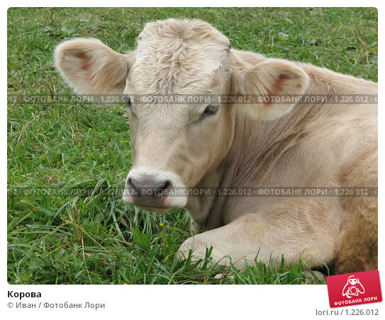 Купить «Корова», фото № 1226012, снято 20 августа 2009 г. (c) Иван / Фотобанк Лори
