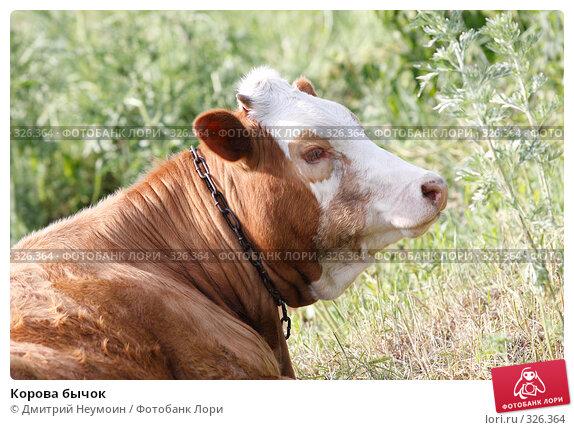 Корова бычок, эксклюзивное фото № 326364, снято 12 июня 2008 г. (c) Дмитрий Неумоин / Фотобанк Лори