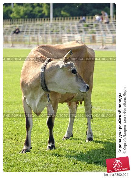Купить «Корова джерсийской породы», фото № 302924, снято 21 июня 2004 г. (c) Сергей Лаврентьев / Фотобанк Лори