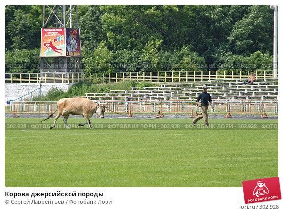 Корова джерсийской породы, фото № 302928, снято 21 июня 2004 г. (c) Сергей Лаврентьев / Фотобанк Лори