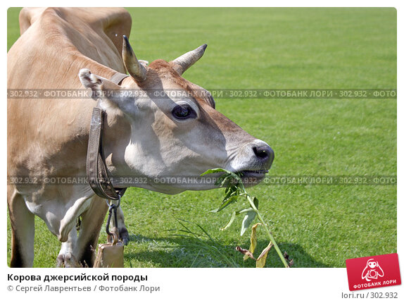 Корова джерсийской породы, фото № 302932, снято 21 июня 2004 г. (c) Сергей Лаврентьев / Фотобанк Лори