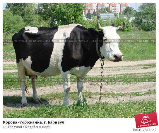 Корова - горожанка. г. Барнаул, эксклюзивное фото № 314140, снято 31 августа 2007 г. (c) Free Wind / Фотобанк Лори
