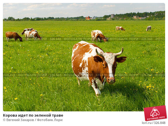 Купить «Корова идет по зеленой траве», фото № 326848, снято 28 мая 2008 г. (c) Евгений Захаров / Фотобанк Лори