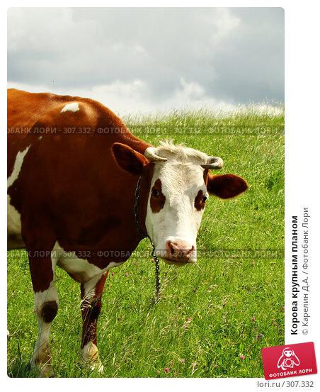Корова крупным планом, фото № 307332, снято 31 мая 2008 г. (c) Карелин Д.А. / Фотобанк Лори