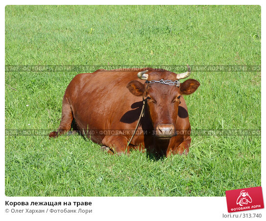Корова лежащая на траве, фото № 313740, снято 6 июня 2008 г. (c) Олег Хархан / Фотобанк Лори