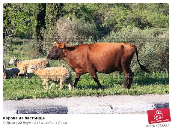 Корова на пастбище, эксклюзивное фото № 272552, снято 23 апреля 2008 г. (c) Дмитрий Неумоин / Фотобанк Лори