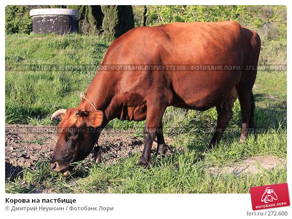 Корова на пастбище, эксклюзивное фото № 272600, снято 23 апреля 2008 г. (c) Дмитрий Неумоин / Фотобанк Лори