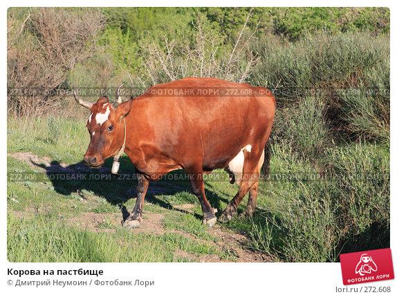 Купить «Корова на пастбище», эксклюзивное фото № 272608, снято 23 апреля 2008 г. (c) Дмитрий Неумоин / Фотобанк Лори