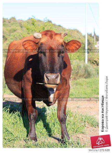 Корова на пастбище, эксклюзивное фото № 272628, снято 23 апреля 2008 г. (c) Дмитрий Неумоин / Фотобанк Лори