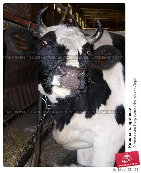Корова на привязи, фото № 135428, снято 29 октября 2005 г. (c) Анастасия Некрасова / Фотобанк Лори