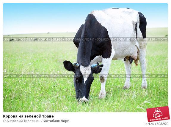 Корова на зеленой траве, фото № 308920, снято 26 мая 2008 г. (c) Анатолий Типляшин / Фотобанк Лори
