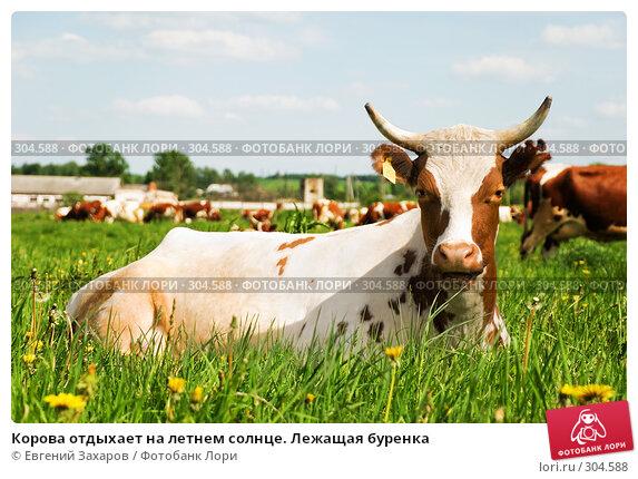 Корова отдыхает на летнем солнце. Лежащая буренка, фото № 304588, снято 28 мая 2008 г. (c) Евгений Захаров / Фотобанк Лори