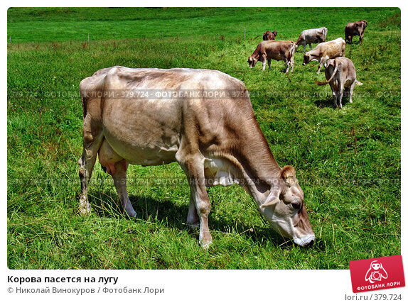 Корова пасется на лугу, эксклюзивное фото № 379724, снято 9 августа 2017 г. (c) Николай Винокуров / Фотобанк Лори