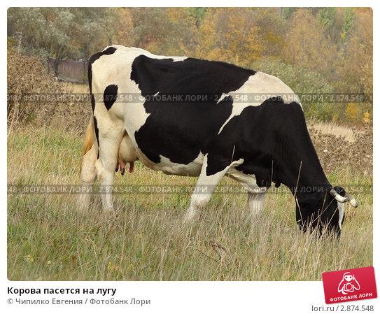 Корова пасется на лугу. Стоковое фото, фотограф Чипилко Евгения / Фотобанк Лори