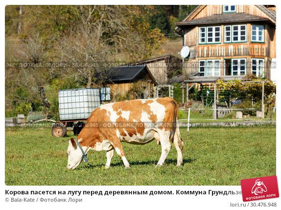 Корова пасется на лугу перед деревянным домом. Коммуна Грундльзее, федеральная Земля Штирия, Австрия (2018 год). Стоковое фото, фотограф Bala-Kate / Фотобанк Лори