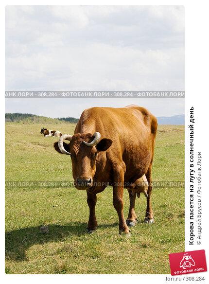 Корова пасется на лугу в солнечный день, фото № 308284, снято 22 октября 2016 г. (c) Андрей Брусов / Фотобанк Лори
