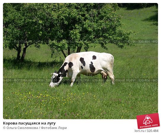 Купить «Корова пасущаяся на лугу», фото № 320484, снято 7 июня 2008 г. (c) Ольга Смоленкова / Фотобанк Лори